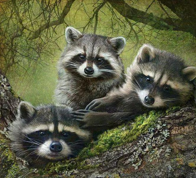 Best 25 raccoons ideas on pinterest raccoons eat racoon and cute raccoon How to keep raccoons out of garden