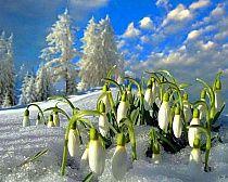 Przebiśniegi Snowdrops