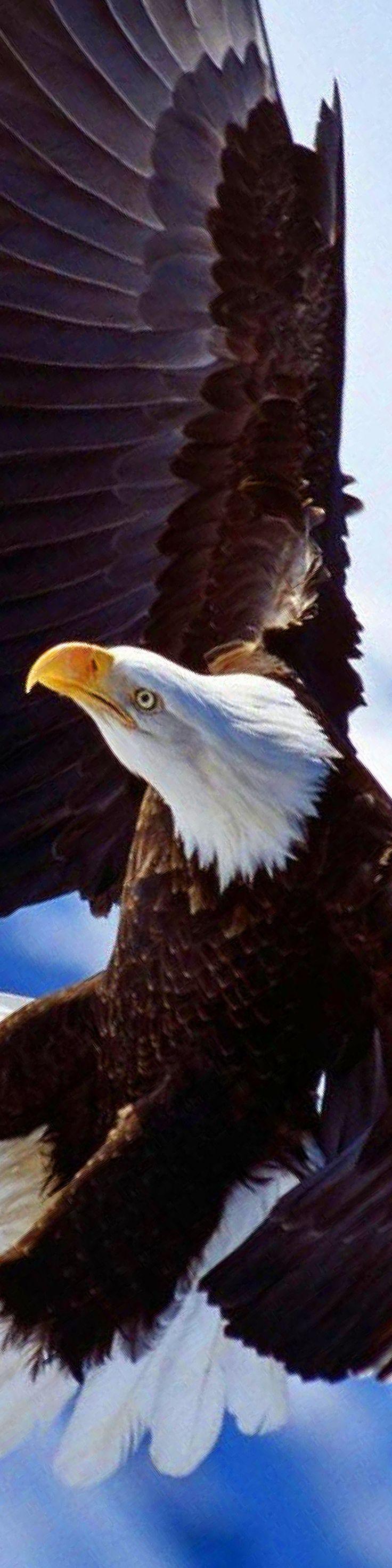 Águila ✿⊱╮