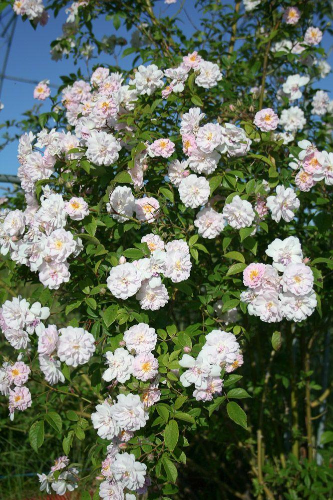 Rose : Paul's Himalayan Musk
