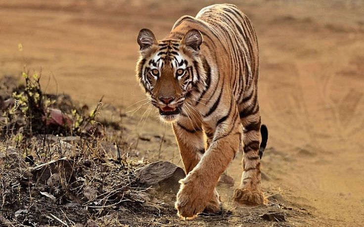 India's tiger population jumps 30 per cent