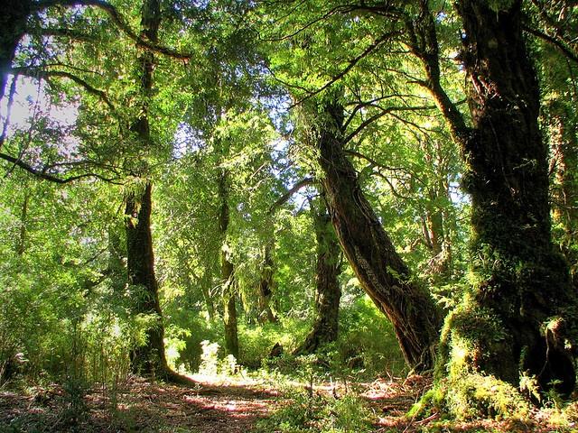Bosque de Maníos... bosque de cuentos....   en el parque nacional Puyehue