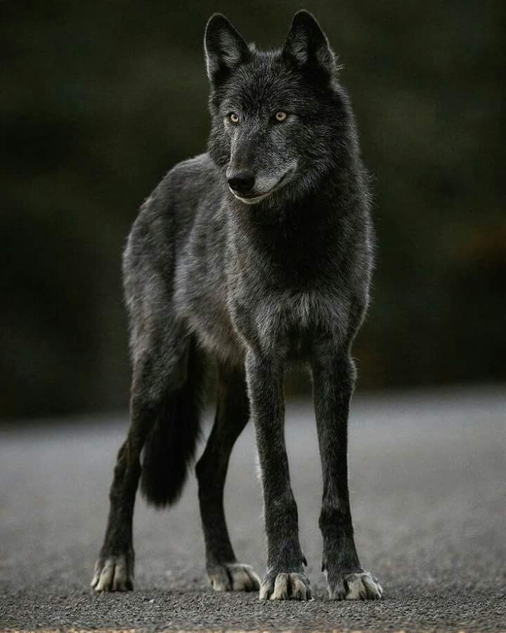 Beautiful black wolf | Wolves | Wolf, Wolf photography, Wolf colors