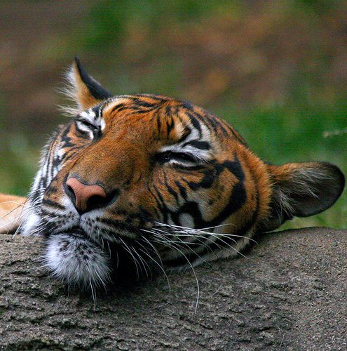Tiger Exhaustion | Flickr - Photo Sharing!