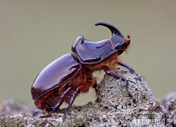 Escarabajo rinoceronte europeo