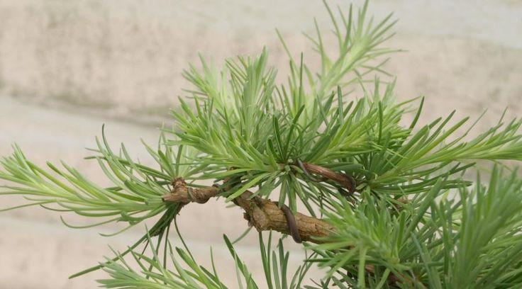 Bonsai 1: Japanische Lärche (Larix kaempferi) - Abgestorbene Kronenspitze wurde abgeschnitten