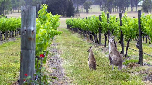 Two kangaroos found in the vineyards of the Hunter Valley wine region in Australia