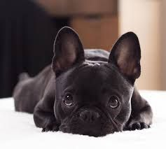 Image result for baby french bulldog