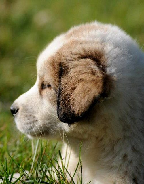 Greek Shepherd Dog Puppy (ellinikos-poimenikos)