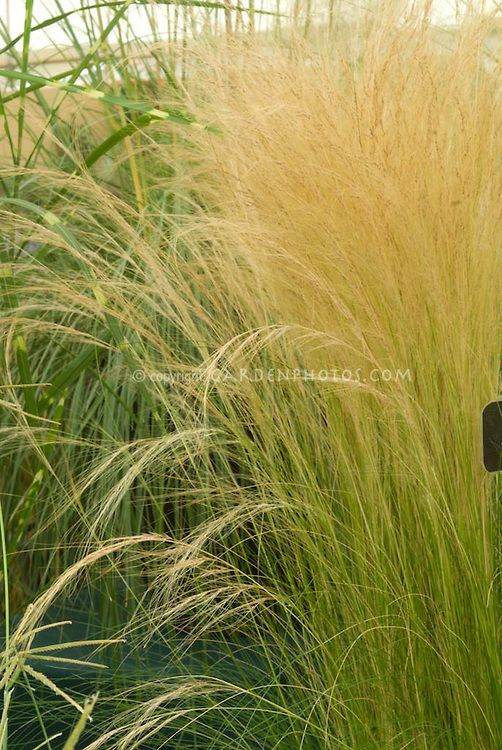77 best images about stipa on pinterest sun pony tails for Landscape grasses for sun