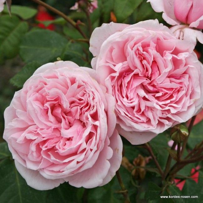 208 best kordes images on pinterest flowers. Black Bedroom Furniture Sets. Home Design Ideas