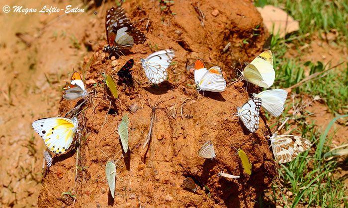 The MySchool MyVillage MyPlanet fundraising programme is helping LepiMAP to determine the distribution and conservation priorities of butterflies and moths on the African continent.