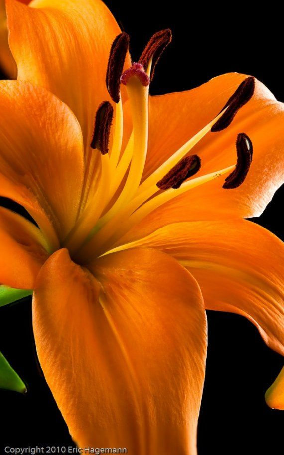 Tiger Lily 8x10 Color Fine Art Photograph by SolsticePhoto on Etsy, $20.00
