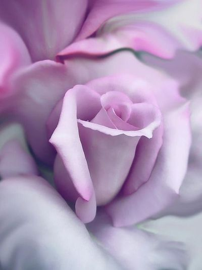 ~ Purple rose ~                                                                                                                                                                                 More