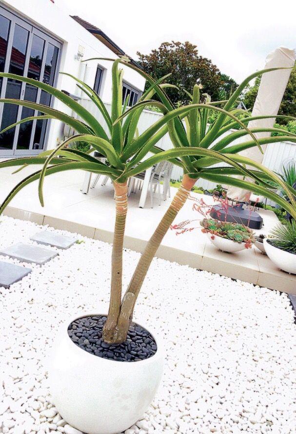 Aloe Barberae (aka Aloe Bainesii)