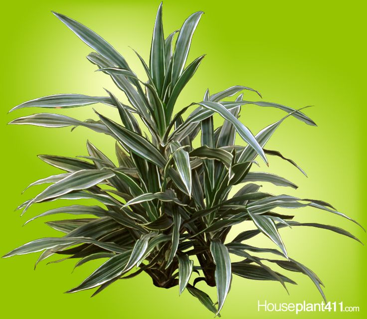 good looking house plant with large green leaves. Dracaena warnekii  houseplants green and white leaves easy care very hardy 12 best Dracaenas Easy Care House Plants images on Pinterest