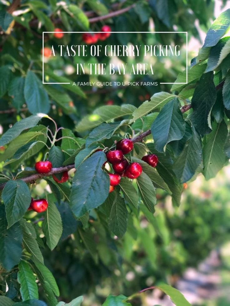 Want to go cherry picking in the San Francisco Bay Area? Join us for our family guide on u-pick farms in Brentwood, California!
