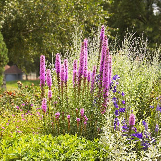 Blazing Star~  A North American prairie native, blazing star bears spikes of white, rose, or purple flowers that attract butterflies. It's an excellent plant to add vertical accent to the perennial garden, and the blooms are ideal for cutting and drying.  Zones 3-9