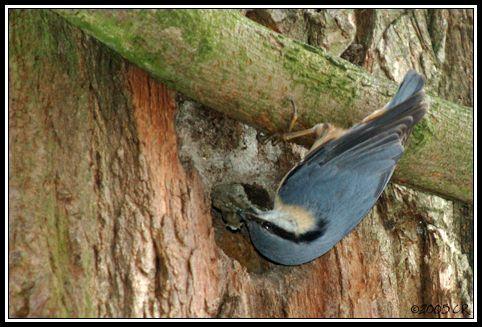 Sittelle torchepot - Sitta europaea (Wood nuthatch / Kleiber / Picchio muratore) 00-00-0000