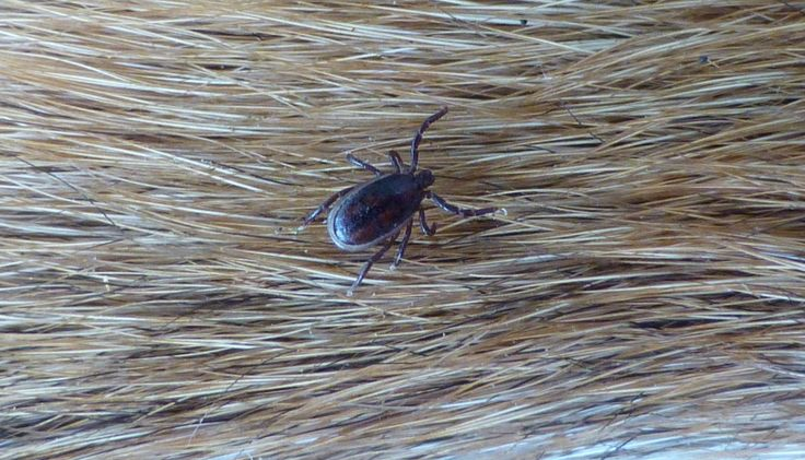 Small tick waiting to attach to feed (on a dog), 210 kb