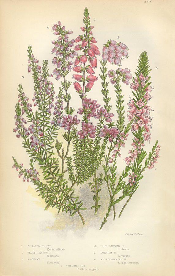 Heath Heather Ling Scotland Victorian Botanical Illustration By Bauhaus1000 Botanical Illustration Botanical Illustration Vintage Victorian Illustration