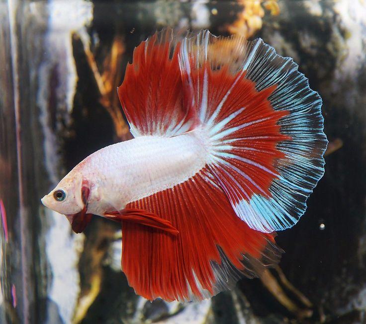 Live betta fish neon white red shuriken butterfly hm for Butterfly betta fish