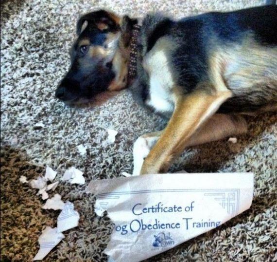 Fotos Engraçadas 3 - (Certificado de Obediência Canina)  Bom trabalho!