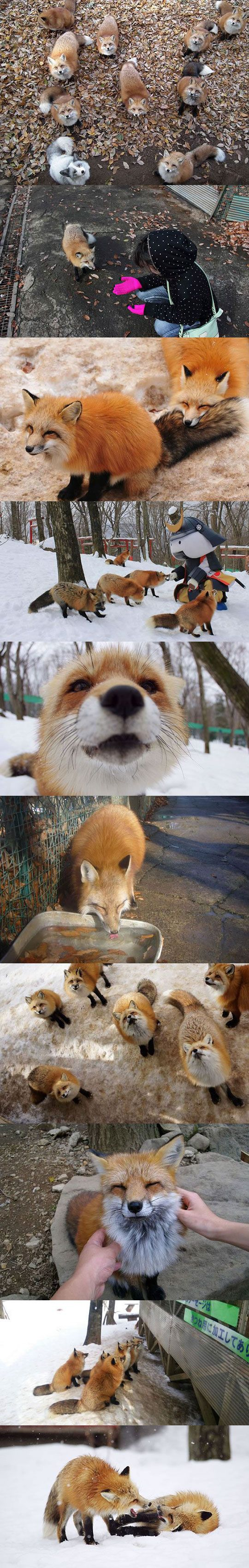 Wonderful Fox Village In Japan... Is this real life!?!?!?   IT IS!!!! http://zao-fox-village.com
