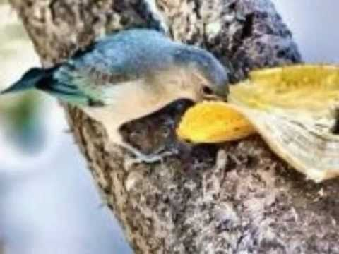 ▶ Aves do Brasil - O belo canto do sanhaço-azul. - YouTube