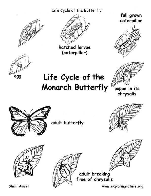 Butterfly Life Cycle Coloring Page Butterfly Life Cycle Life Cycles Butterfly Coloring Page