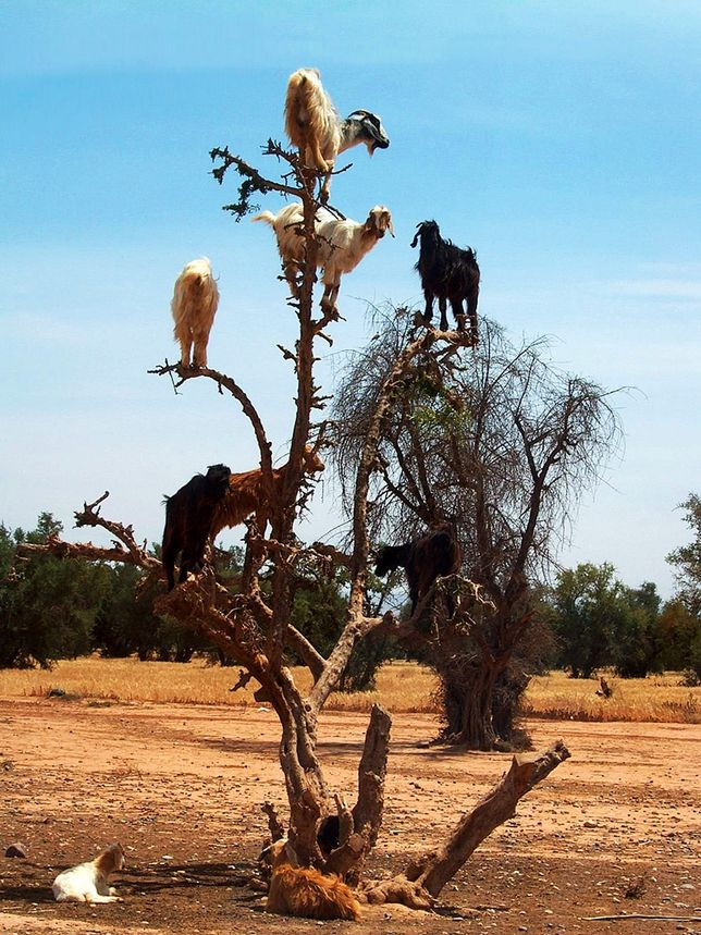 Goats Climbing In Trees Animals Goats Funny Animals