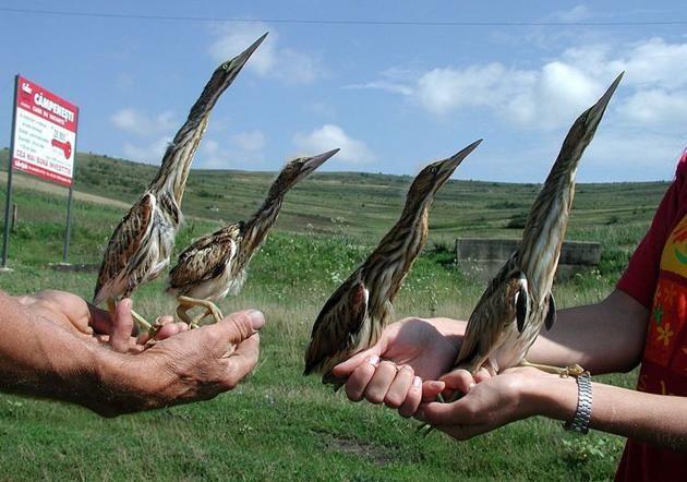 Păsări din bazinul Fizeşului