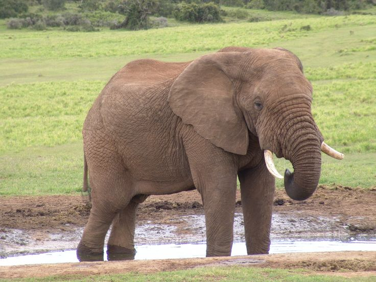 Elephant-stella
