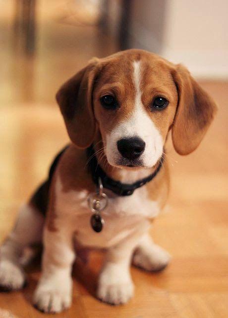 Beagle http://www.theyellowpet.es                                                                                                                                                                                 Más