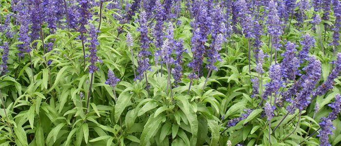 Zsálya (Salvia officinalis) - Természet Patikája Egyesület