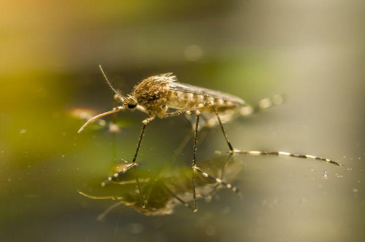 Koreai szúnyog - PROAKTIVdirekt Életmód magazin és hírek - proaktivdirekt.com