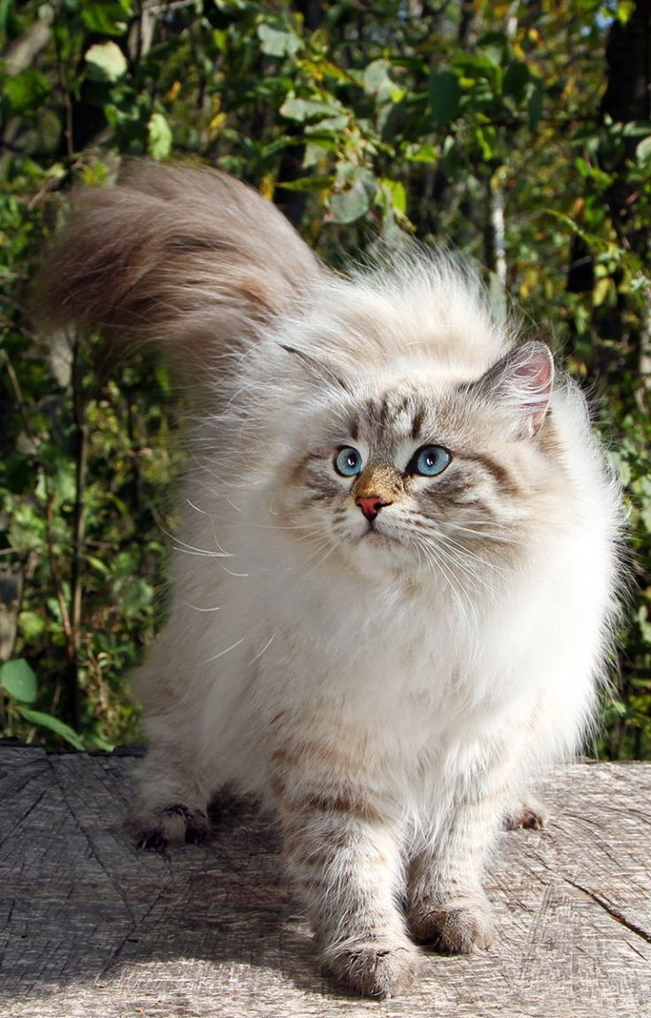 Siberian Cats A complete breed review Cat! breed
