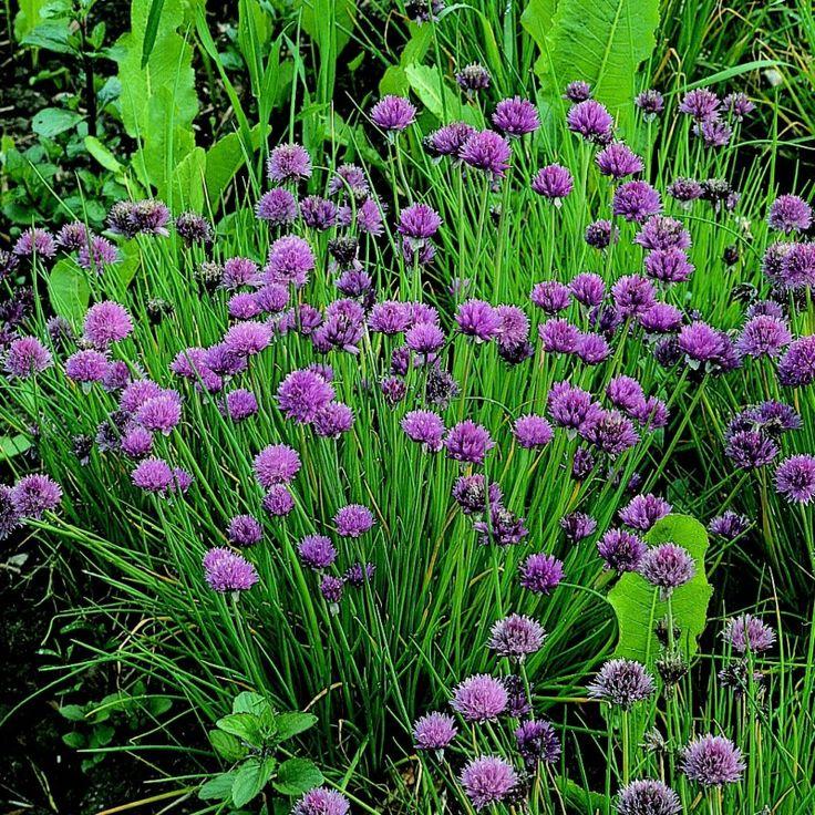 Las 25 mejores ideas sobre planta perenne en pinterest for Plantas hoja perenne