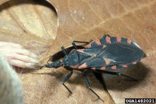 Western conifer seed bugs and kissing bugs : Yard and Garden News : University of Minnesota Extension