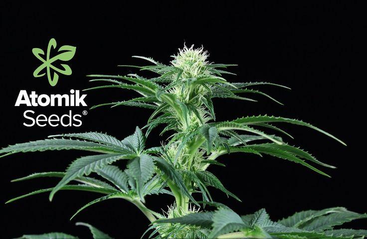 ATOMIK SEEDS pudo presumir de estar entre los primeros bancos de España en desarrollar semillas de marihuana feminizadas. Ofreciendo un buen producto y contando con el personal cualificado las posibilidades de éxito de cualquier empresa se multiplican, y esto  precisamente es en lo que confía ATOMIK SEEDS.