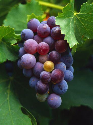 A Bunch of Grenache Grapes on the Vine, Australia