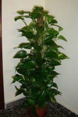 Перекись водорода для домашних растений