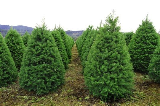 Christmas Tree Shopping: Everything You Didn't Know You Needed to Know Business Insider