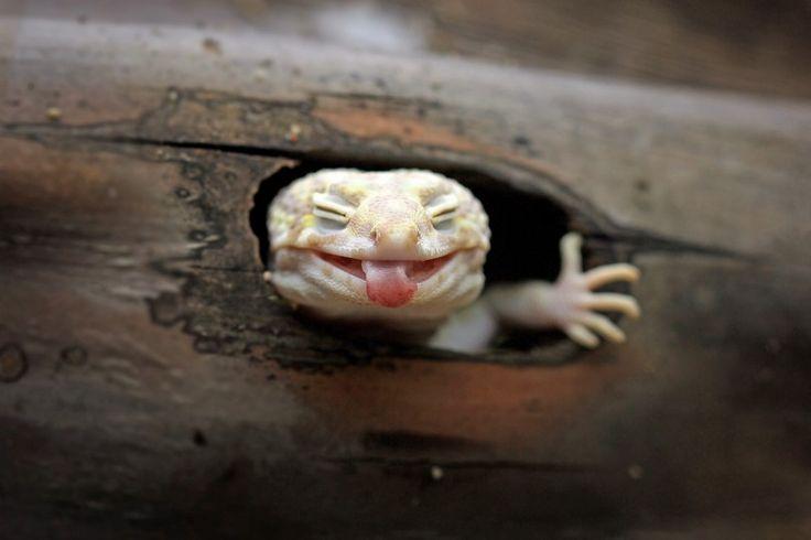 Un gecko espiègle sort de son abri en ricanant: ce petit gecko de six mois semble beaucoup s'amuser. Passant la tête par la petite fenêtre en bois de son domicile de Batam, en Indonésie, il tire la langue et ricane d'un air amusé.