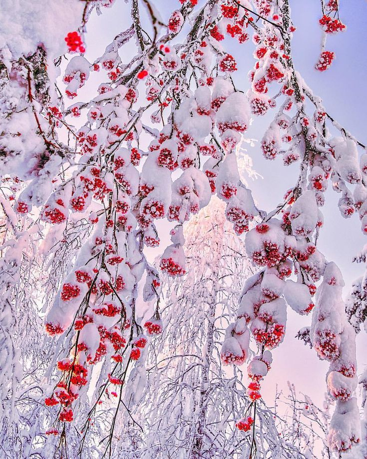 Снежная рябина. Олицетворение той самой красивой русской зимы, о которой мы все мечтаем, выглядывая в маленькие окна серых бетонных коробок.