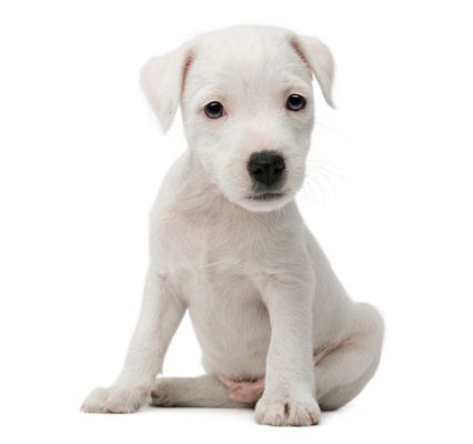 White Dog White Background 3
