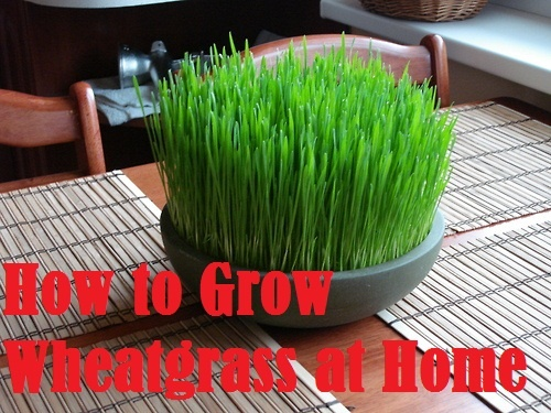 Farming & Agriculture: How to Grow Wheatgrass at Home