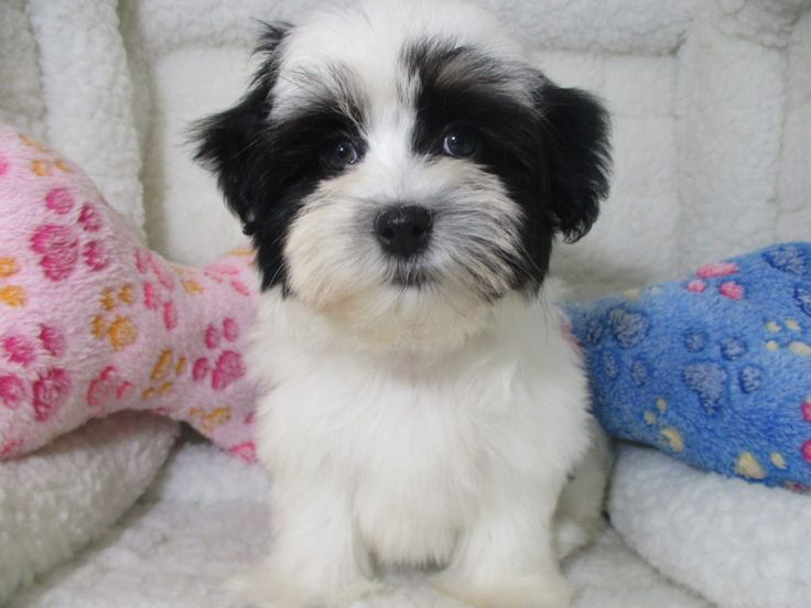 Havanese 8055 puppies for sale at breeders club