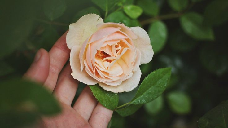 A Family Herb: The Comforts Of Rose