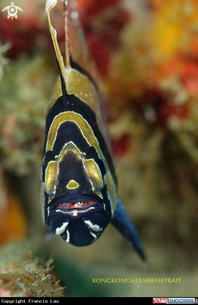 Cardinal fish with babies in Lembeh Strait - Indoneisa